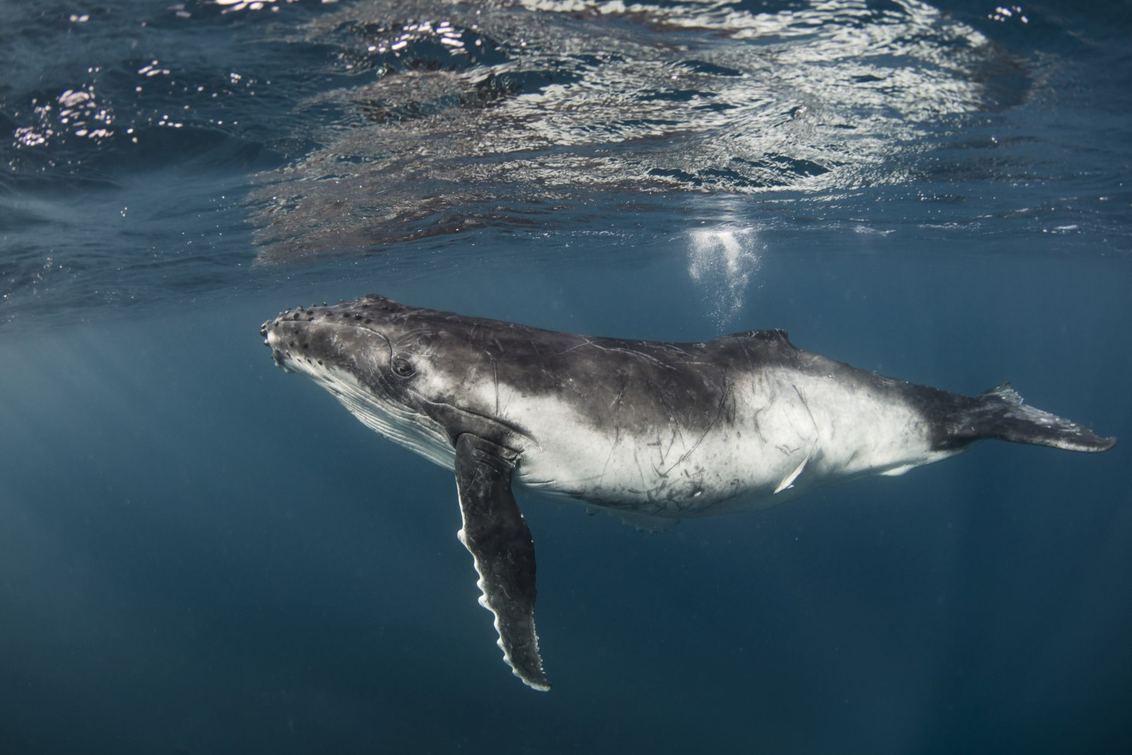 Is it Safe to Swim with Whales in Tonga?