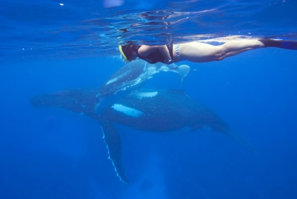 How to Get the Best Whale Swimming Experience in Tonga