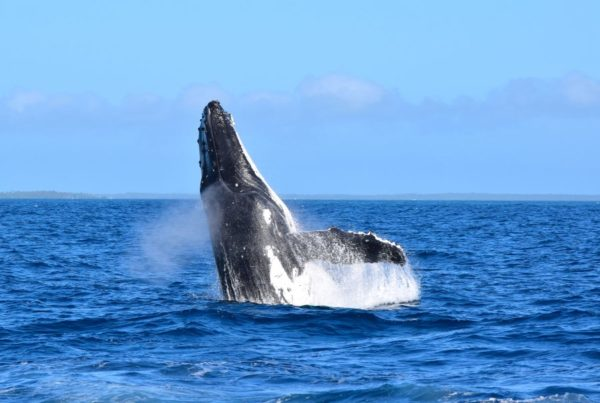 When is the Whale Season in Tonga?