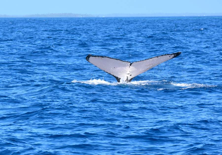 Where to See Whales in Tonga