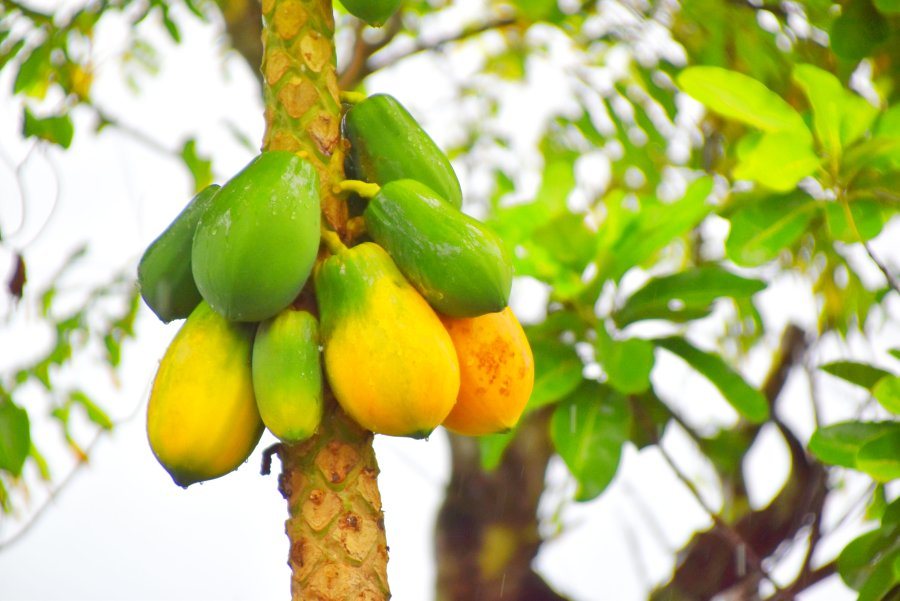 10 Exotic Fruits in Tonga You Have to Try